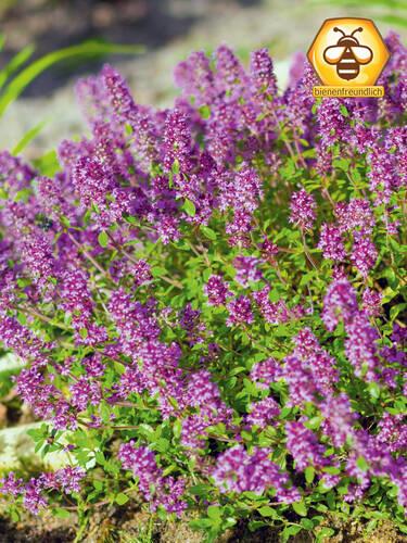 Garten Thymian Magic Carpet Staudenpflanzen Fur Den Steingarten