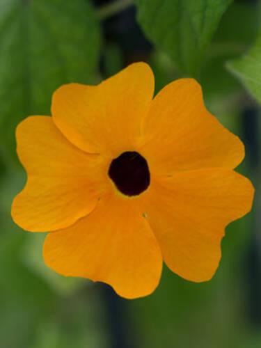Schwarzaugige Susanne Orange Beet Und Balkonpflanzen