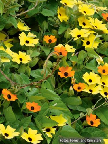 Schwarzaugige Susanne Gelb Und Orange Beet Und Balkonpflanzen