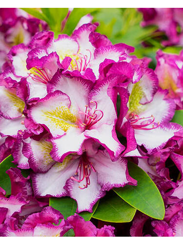 Ziergehölze - Rhododendron Happydendron® Pushy Purple
