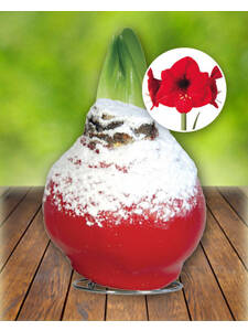 Gewachste Amaryllis Touch of Wax Snow Christmas Red