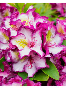 Rhododendron Happydendron® Pushy Purple